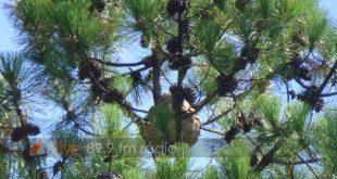 Sátão: Ninho de vespas Asiáticas preocupam morador há duas semanas