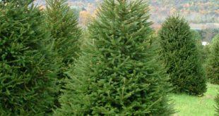 Incêndios: Tarouca doa Árvores de Natal para depois replantá-las