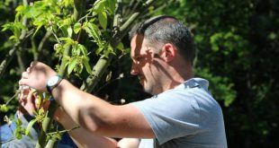 Castro Daire: Largada de parasita para combater vespa das galhas do castanheiro