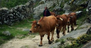 Câmara de Cinfães entregou 61 mil euros a criadores de gado de raça arouquesa