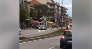 Dromedário foge de circo e passeia no centro da cidade de Viseu