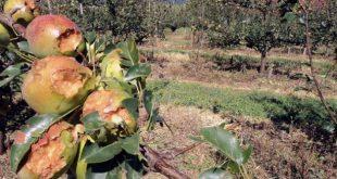 80% da área de produção de maçã de Armamar foi destruída pelo mau tempo
