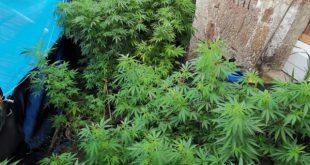 GNR desmantelou plantação de cannabis em Cinfães